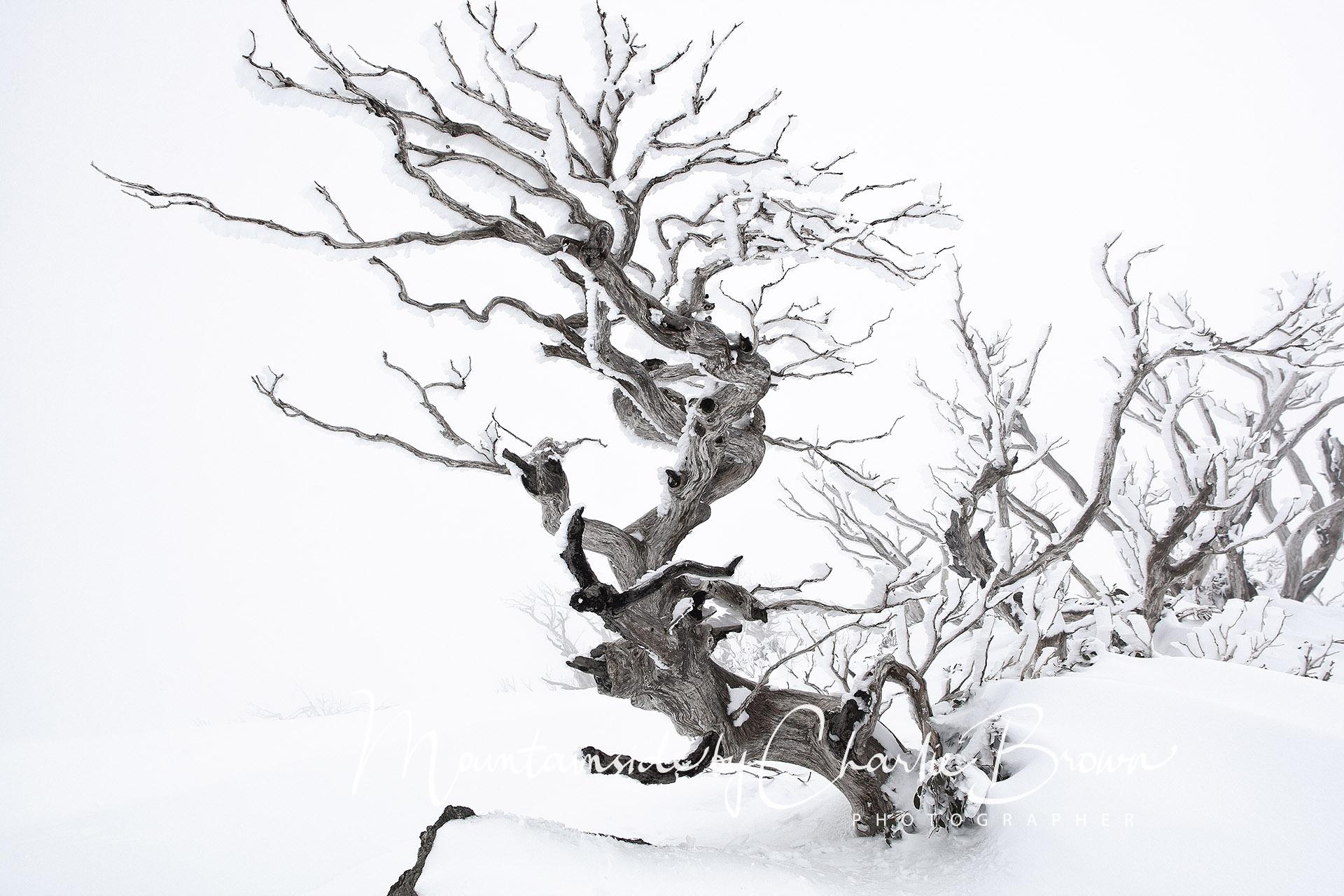 Frozen Snowgum